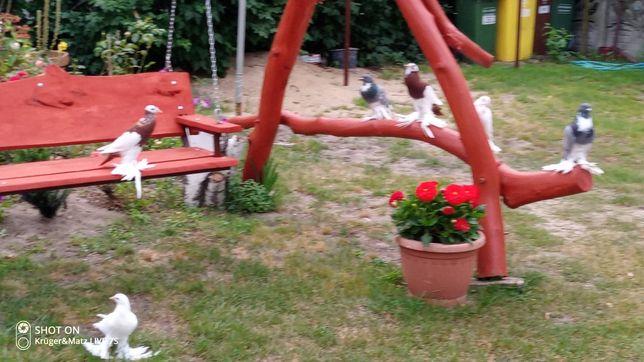 Gołębie garlacze