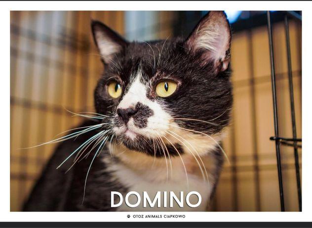 Znaleziony czarno biały kot-Domino gotowy do adopcji