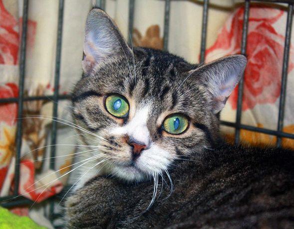 Умная, ласковая кошечка Сонечка,1.5 г,стерилизована,кот,кошка,котик