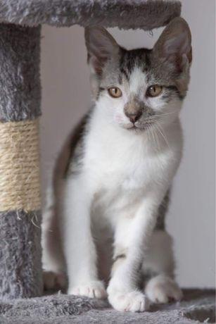 4 miesięczny kociak Blokers do adopcji sam lub z rodzeństwem