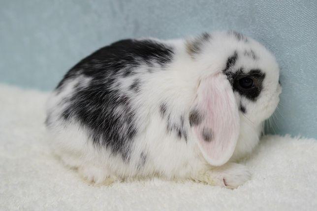Вислоухий карликовый кролик, породистый , с документами!