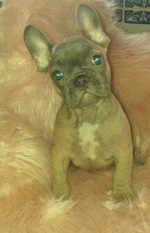 Bulldog  2 meses