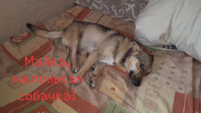 Майя маленькая собачка вес 6 кг возраст 1.5 года собачка компаньен