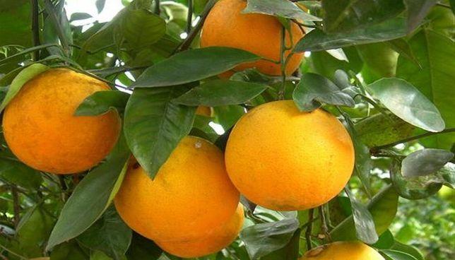 Апельсин Лайн Лате комнатный