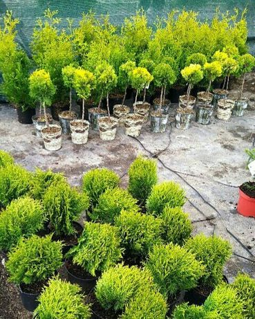 Туя можжевельник сосна ель хвойные деревья кустарники саженцы растения