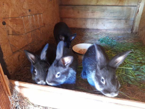 WJS królik, króliki