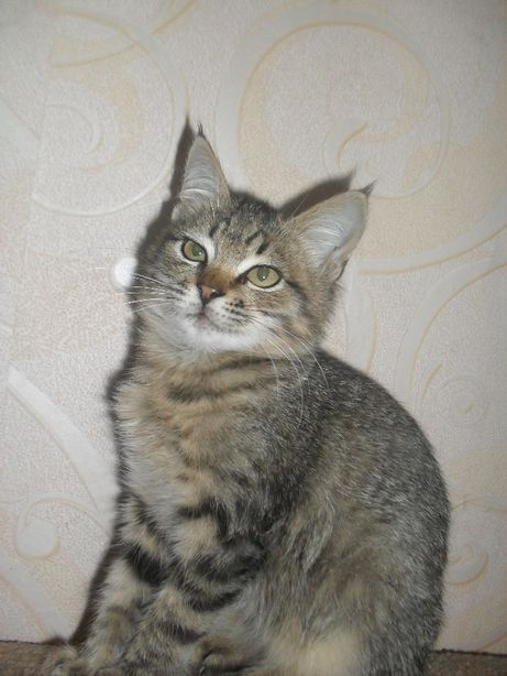Отдам котёнка, кошечка