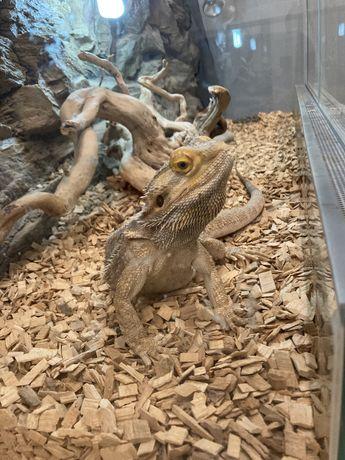 Agama Brodata z wyposażonym terrarium