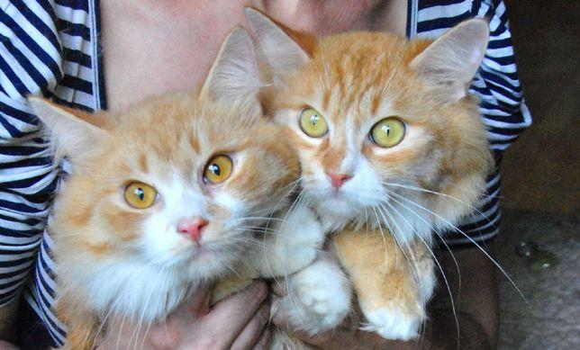 руді котики,хлопчики, два братика, кастровані