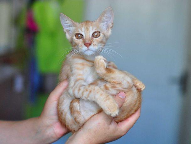 Котенок Лейла, красавица-кошка с янтарными глазками (3 мес, кошечка)
