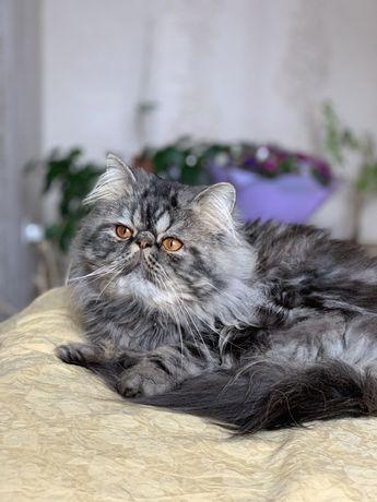 Перс ищет невесту ,вязка персидский кот, экстремал