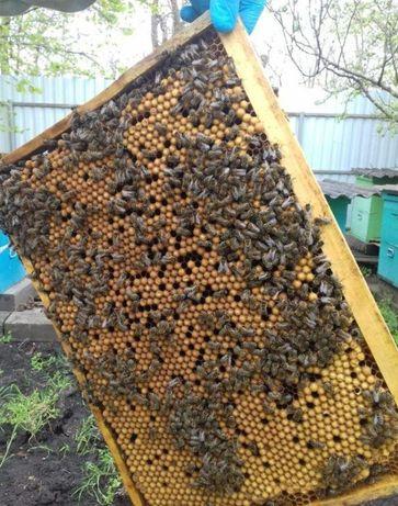 Низкороевая пчела. Бджолині матки Вучковская Карпатка.