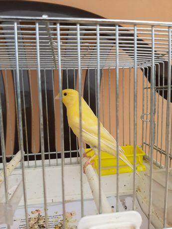 Kanarek samiec żółty