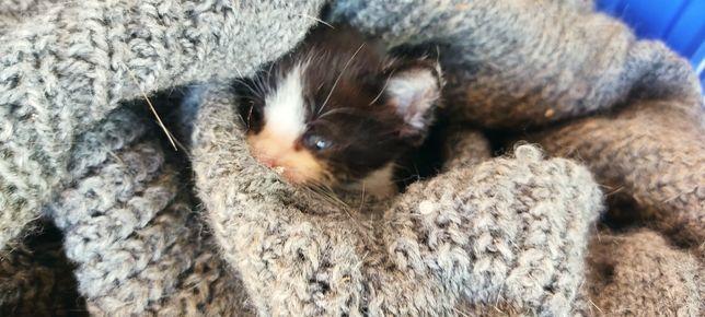 Gato bebé preto e branco