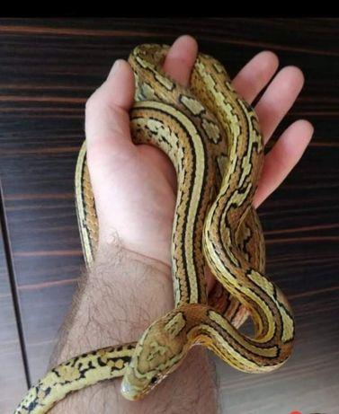 Wąż zbożowy  samiec