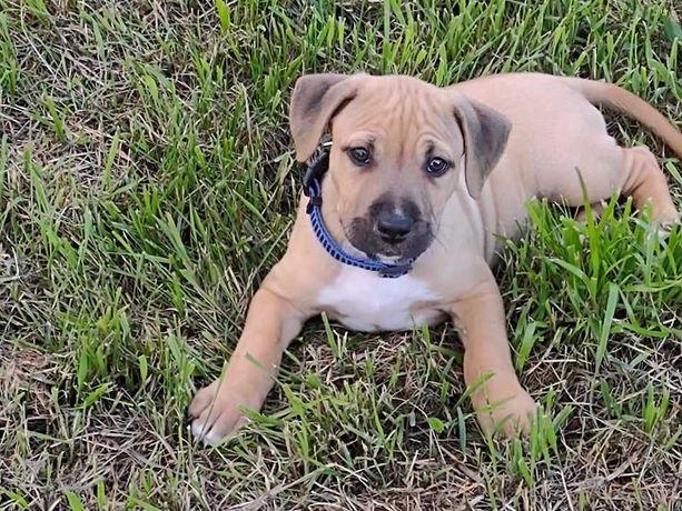 Szczeniaki American Staffordshire Terrier,Amstaff