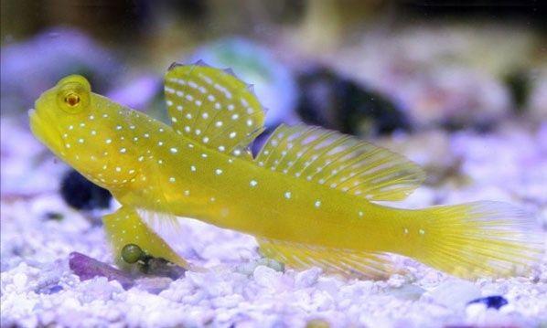 RYBA MORSKA Babka Cryptocentrus cinctus Akwarium morskie WYSYŁKA