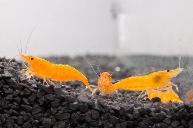 Krewetka sakura orange
