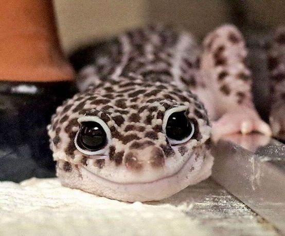 Геккон. Гекон - ручні ящірки для домашнього утримання
