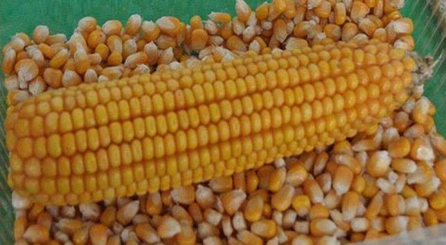 Sprzedam 500 ton kukurydzy mokrej