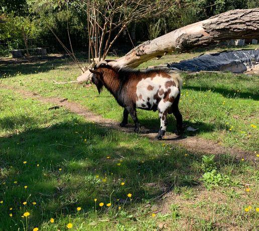 Cabra Anã - Macho