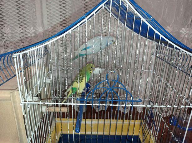 Продам папуги разом з кліткою. Хлопчик і дівчинка