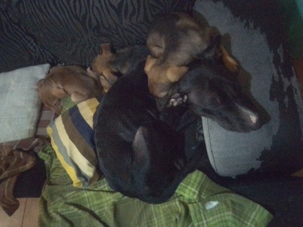 Cães para adoção URGENTE
