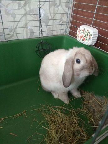 Кролик минилоп ищет девочку