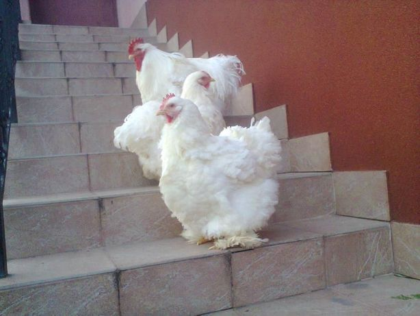 Кури, інкубаційні яйця, курчата.