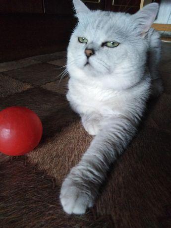 Серебристо шиншиловый кот ждёт невест.