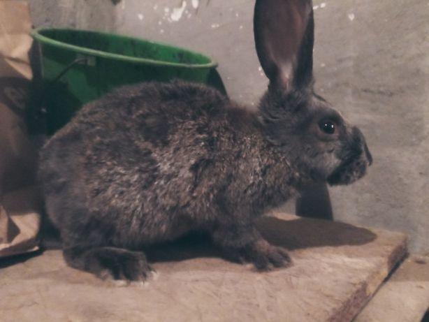 Sprzedam  królik