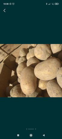 Ziemniaki jak sadzeniak Lord żółte sadzeniaki