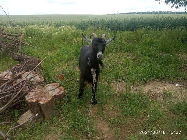 Продам козу, цена хорошая