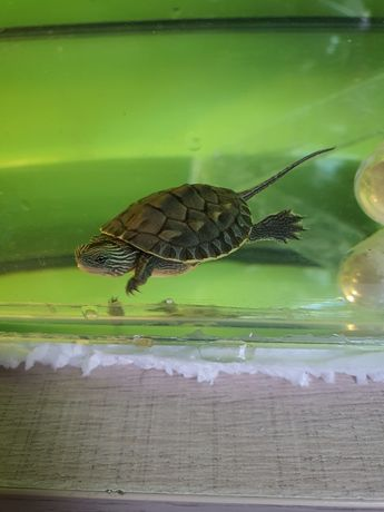 Żółw chiński okazja