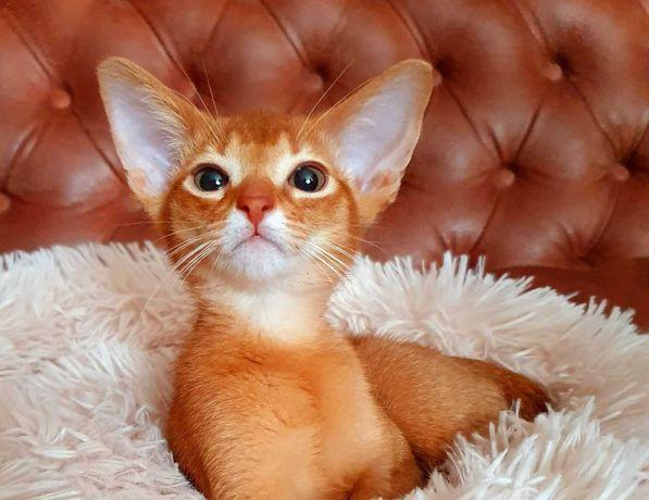 Абиссинская кошка Леди софия