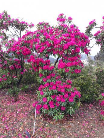 14 Palmeiras & 55 Rhododendron