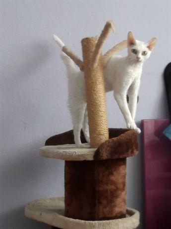 Biała kotka devon rex