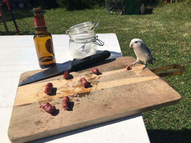 Roseicollis, papagaio, periquito, agarponis  criado a mão