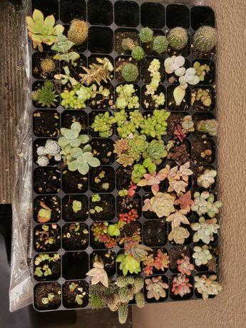 Mudas de plantas, suculentas e cactos