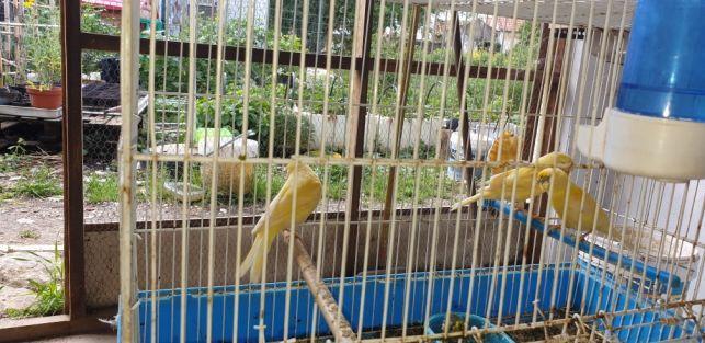 canarios de Luxo