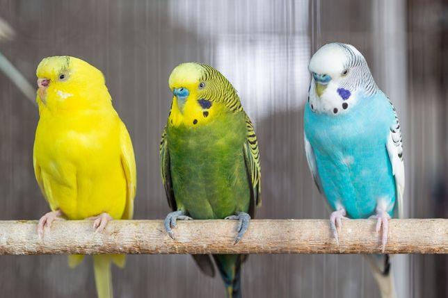 Papuga falista,