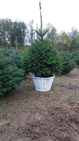 Choinka Drzewka Bożonarodzeniowe. Jodła Świerk Sosna