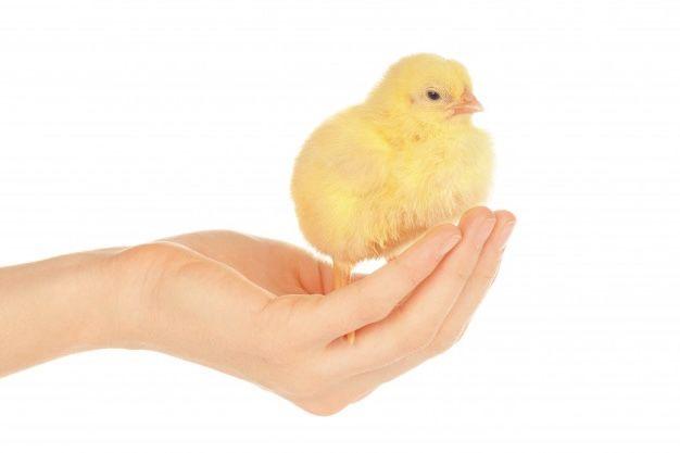 Суточные цыплята бройлер