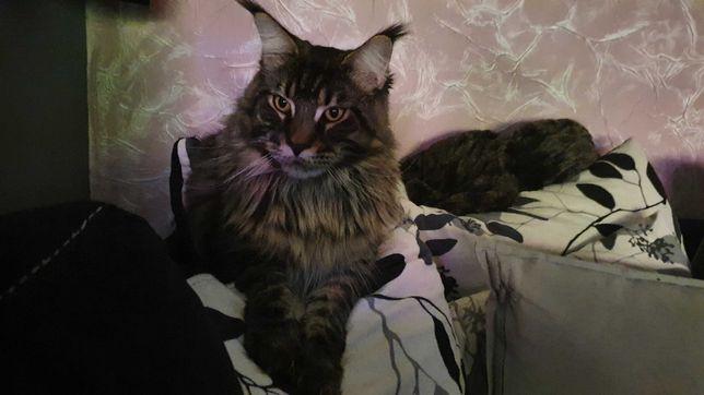 Zaginął kot rasy Maine Coon,Rybnik nowiny.