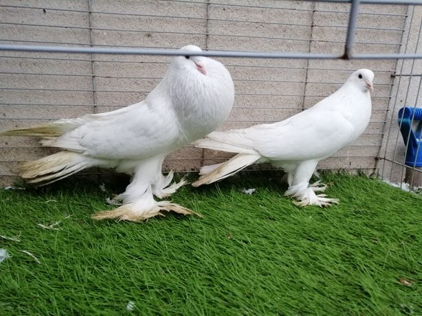 Gołębie. Garłacze. Garłacz Pomorski biały