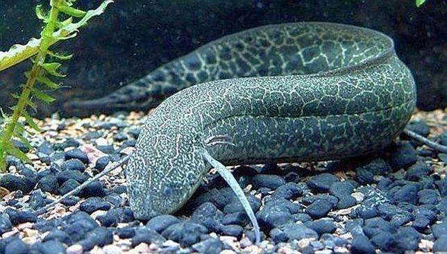Prapłetwiec abisyński Protopterus aethiopicus od 3 sztuk po 70zł