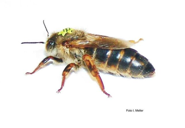 Matki pszczele  / Singier /