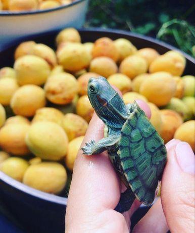 Крихітна черепаха американська.