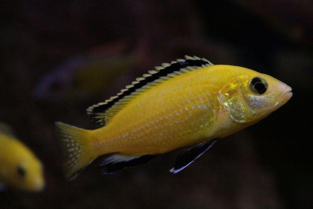 Pyszczak labidochromis caeruleus yellow elblag