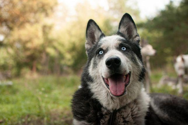 Mądry i aktywny pies husky o niebanalnym wyglądzie husky Kuba
